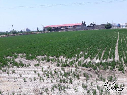 امسال هزار و ۸۳۸ هکتار از اراضی کشاورزی بخش بهاران زیر کشت شالی است