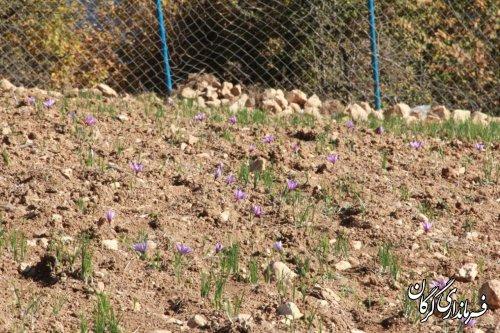کشت گیاهان دارویی در اولویت روستاهای شهرستان گرگان قرار می گیرد