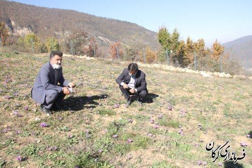 روستای زیارت مستعد کشت زعفران باکیفیت است